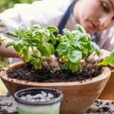 Guida alla coltivazione del basilico in vaso sul balcone